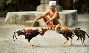 Đá gà phi là gì ? Đá gà phi trực tiếp hôm nay mới nhất