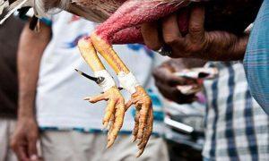 Đá gà trực tiếp cựa dao hôm nay | Đá gà cựa dao philippine mới nhất
