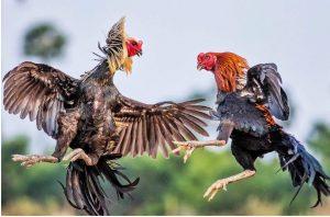Top 11 các giống gà chọi trên thế giới đá sung mãn nhất hiện nay