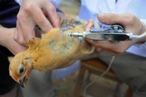 Hướng dẫn tiêm thuốc cho gà chọi đúng cách
