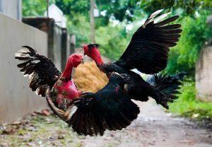 Các cách bảo quản và cách mài cựa gà được ưa chuộng nhất hiện nay