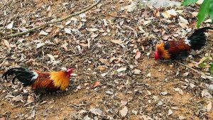 Cách bẫy gà rừng 2020 hiệu quả nhất với gà lai và bẫy giò
