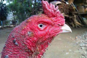 Cách chữa gà bị kén mép trong hiệu quả nhất không bị tái lại