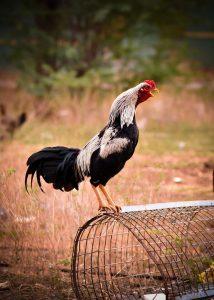 Hướng dẫn cách chọn gà linh kê đơn giản và chuẩn nhất