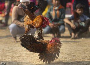 Game đá gà online   Game chơi gà online yêu thích nhất tại Việt Nam